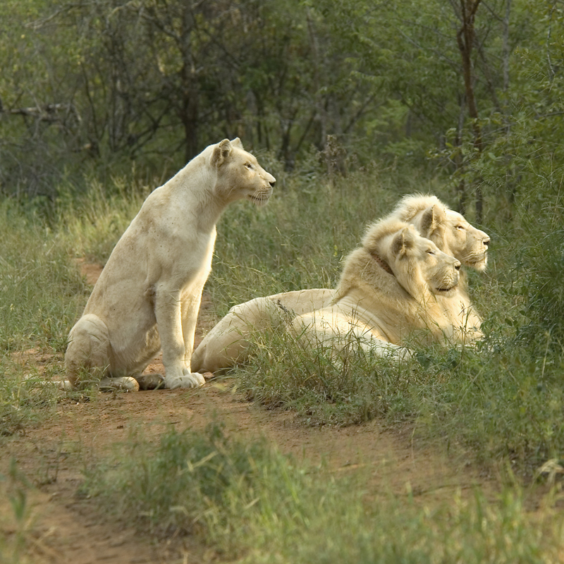 Zihra, Letaba and Regeus, are the only white lions hunting naturally in the